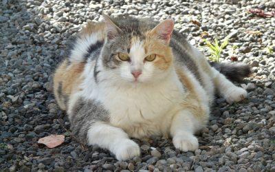 Cane grasso e gatto grasso: cos'è il Body Condition Score